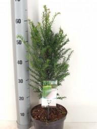 Heimische Eibe / Taxus baccata 30-40 cm im 2-Liter Container