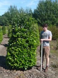 Kirschlorbeer 'Etna' / Prunus laurocerasus 'Etna' 200-225 cm Solitär mit Drahtballierung