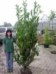 Prunus laurocerasus 'Caucasica' / Kirschlorbeer 'Caucasica' 200-225 cm mit Drahtballierung