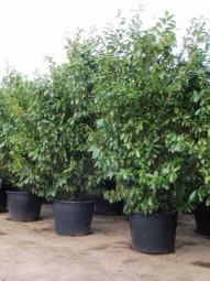 Großblättriger Kirschlorbeer 'Rotundifolia' / Prunus laurocerasus 'Rotundifolia' 250-300 cm im 150-Liter Container