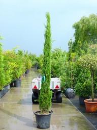 Mittelmeer-Zypresse / Säulenzypresse / Cupressus sempervirens 250-300 cm im 40-Liter Container