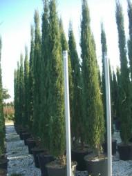 Mittelmeer-Zypresse / Säulenzypresse / Cupressus sempervirens 300-350 cm im 50-Liter Container