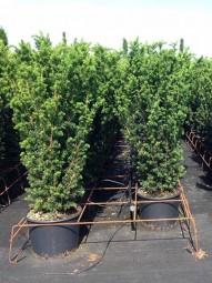 Fruchtlose Becher-Eibe 'Hillii' / Taxus media 'Hillii' 80-100 cm im 20-Liter Container