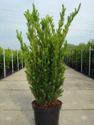 Fruchtlose Becher-Eibe 'Hillii' / Taxus media 'Hillii' 100-125 cm im 7-Liter Container
