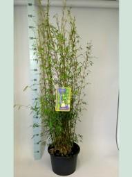 Jade Bambus / Fargesia nitida 'Jiuzhaigou 1' 100-125 cm im 12-Liter Container