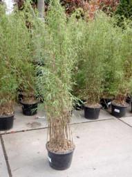 Jade Bambus / Fargesia nitida 'Jiuzhaigou 1' 125-150 cm im 12-Liter Container