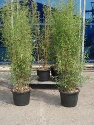 Jade Bambus / Fargesia nitida 'Jiuzhaigou 1' 150-175 cm im 20-Liter Container
