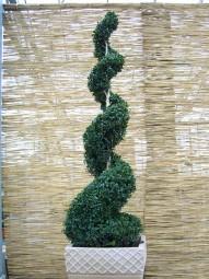 Buchsbaum 'Jumbo-Spirale' / Buxus sempervirens 'Jumbo-Spirale' 150-175 cm Solitär
