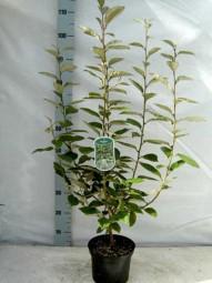 Wintergrüne Ölweide / Elaeagnus ebbingei 60-80 cm im 3-Liter Container