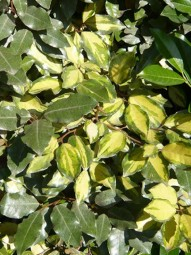 Wintergrüne Ölweide 'Lelight' / Elaeagnus ebbingei 'Limelight' 60-80 cm im 5-Liter Container
