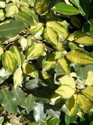 Wintergrüne Ölweide 'Lelight' / Elaeagnus ebbingei 'Limelight' 150-175 cm im 50-Liter Container