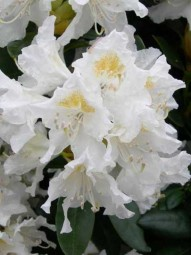 Rhododendron 'Cunningham's White' / Rhododendron Hybride 'Cunningham's White' 20-30 cm im 3-Liter Container