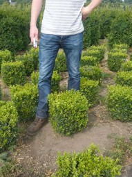 Buchsbaum 'Quader' / Buxus sempervirens 'Quader' 35-40 cm mit Ballierung