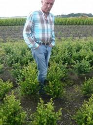 Kleinlaubige Japan-Hülse 'Green Hedge' / Ilex crenata 'Green Hedge' 50-60 cm mit Ballierung
