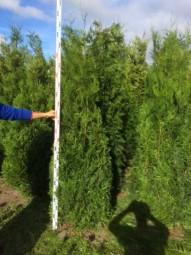 Lebensbaum 'Atrovirens' / Thuja plicata 'Atrovirens' 200-250 cm Solitär mit Drahtballierung