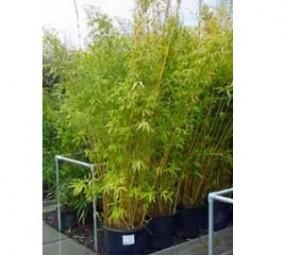 Wie pflanzt man Heckenpflanzen?