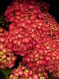 Bauern-Hortensie 'Leuchtfeuer' / Hydrangea macrophylla 'Leuchtfeuer ®' 40-60 cm im 10-Liter Container