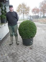 Buchsbaum 'Kugel' / Buxus sempervirens 'Kugel' 70-80 cm Solitär mit Drahtballierung