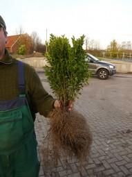 Buchsbaum 'Einfassung' / Buxus sempervirens 25-30 cm wurzelnackt