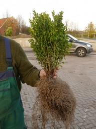 Buchsbaum 'Einfassung' / Buxus sempervirens 35-40 cm wurzelnackt