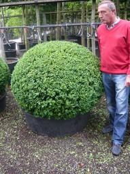 Buchsbaum 'Kugel' / Buxus sempervirens 'Kugel' 120-130 cm Solitär mit Drahtballierung