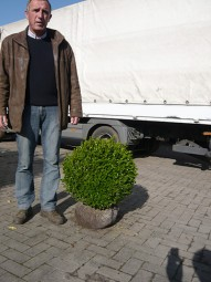 Buchsbaum 'Kugel' / Buxus sempervirens 'Kugel' 45-50 cm Solitär mit Ballierung