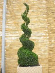 Buchsbaum 'Jumbo-Spirale' / Buxus sempervirens 'Jumbo-Spirale' 125-150 cm mit Ballierung