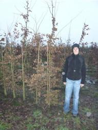 Hainbuche / Carpinus betulus 200-250 cm mit Ballierung