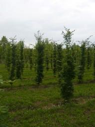 Hainbuche / Carpinus betulus 250-300 cm Solitär mit Drahtballierung