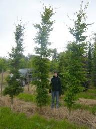Hainbuche / Carpinus betulus 300-350 cm Solitär mit Drahtballierung