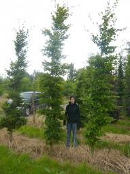 Hainbuche / Carpinus betulus 350-400 cm Solitär mit Drahtballierung