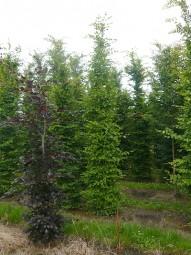 Hainbuche / Carpinus betulus 400-450 cm Solitär mit Drahtballierung