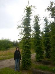 Hainbuche / Carpinus betulus 450-500 cm Solitär mit Drahtballierung
