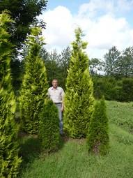 Gelbe Scheinzypresse 'Ivonne' / Chamaecyparis lawsoniana 'Ivonne' 300-350 cm Solitär mit Drahtballierung