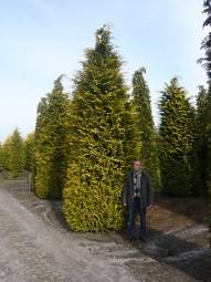 Gelbe Scheinzypresse 'Ivonne' / Chamaecyparis lawsoniana 'Ivonne' 500-600 cm Solitär mit Drahtballierung