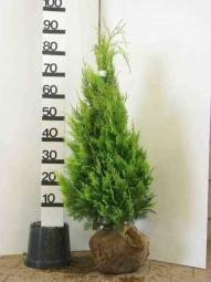 Gelbe Scheinzypresse 'Ivonne' / Chamaecyparis lawsoniana 'Ivonne' 60-80 cm Solitär mit Ballierung