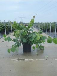 Ährige Scheinhasel / Corylopsis spicata 40-50 cm im 5-Liter Container