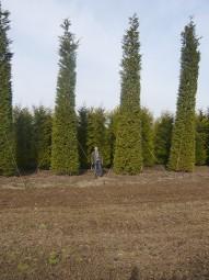 Grüne Bastardzypresse / Cupressocyparis leylandii 800-900 cm Solitär mit Drahtballierung