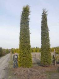 Gelbe Bastardzypresse 'Castlewellan' / Cupressocyparis leylandii 'Castlewellan' 600-700 cm Solitär mit Drahtballierung