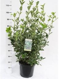 Japanischer Spindelstrauch 'Albomarginatus' / Euonymus japonicus 'Albomarginatus' 80-100 cm im 20-Liter Container