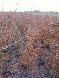 Blutbuche / Fagus sylvatica 'Purpurea' 150-175 cm mit Ballierung