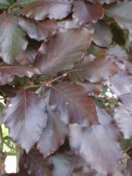 Blutbuche / Fagus sylvatica 'Purpurea' 40-60 cm wurzelnackt