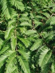 Fertighecke / Heckenelement / Mammutbaum / Metasequoia glyptostrobioides 200x100x40 cm in Kartonage
