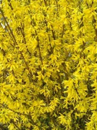 Goldglöckchen 'Week-End' / Forsythia intermedia 'Week-End ®' 40-60 cm im 3-Liter Container