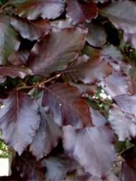 Fertighecke / Heckenelement / Blutbuche / Fagus sylvatica 'Purpurea' 200x100x40 cm in Kartonage