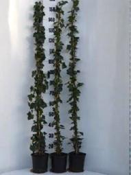 Großblättriger irischer Efeu / Hedera hibernica 125-150 cm im 3-Liter Container