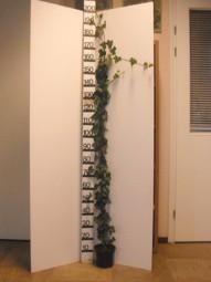 Großblättriger irischer Efeu / Hedera hibernica 150-175 cm im 3-Liter Container
