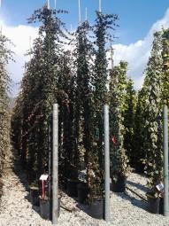 Großblättriger irischer Efeu / Hedera hibernica 400-500 cm im 50-Liter Container