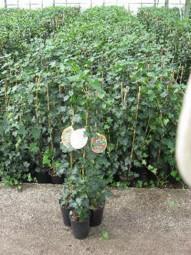 Großblättriger irischer Efeu / Hedera hibernica 60-80 cm im 2-Liter Container