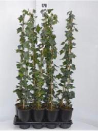 Großblättriger irischer Efeu / Hedera hibernica 80-100 cm im 2-Liter Container